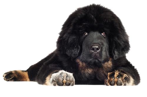 Tibetan-Mastiff1