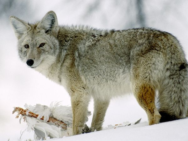coyote-glancing_510_600x450