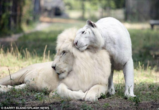 Un León Blanco y Un Tigre Blanco Tuvieron Bebes... ¿El Resultado? La Cosa Más Bella Que Habrás Visto