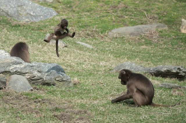 Extraño Comportamiento De Un Lindo Babuino En Los Primeros Años de Su Vida