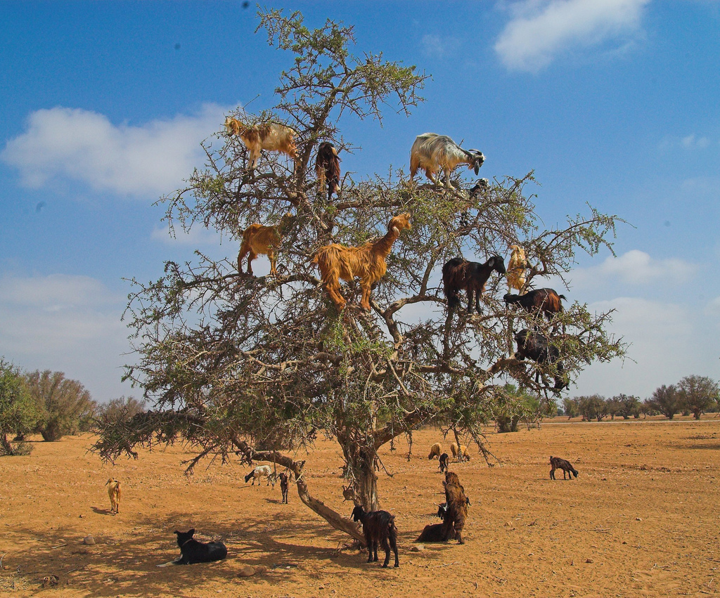 Goats-in-Trees