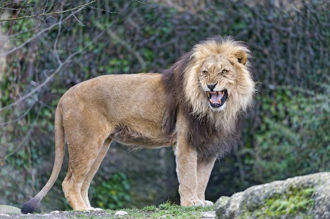 lionwatch1