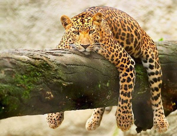 funny_lazy_animals-13